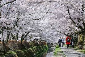 cherry blossos
