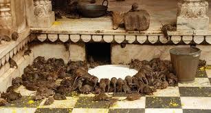 KArni Mata Rats