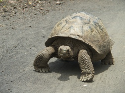 Galapagos Giant Tortoise we met while biking to the wall