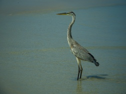 Heron, captured at the beach en route to the wall