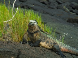 Male Marine Iguana with mating colours on full display, captured en route to the wall
